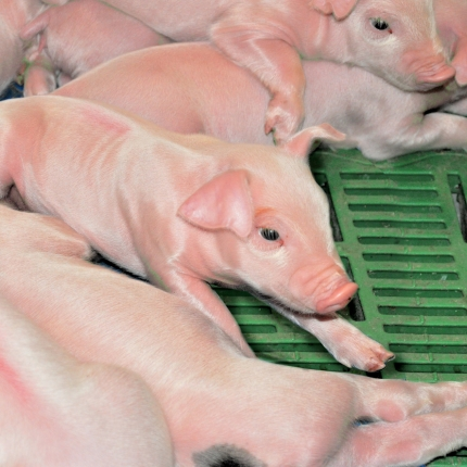Piglets in the farrowing room