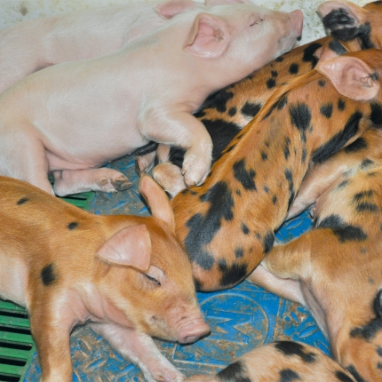 Piglets in the farrowing room, sleeping on the heatable mat