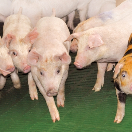 Weaning pigs